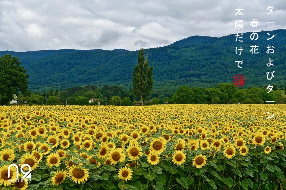 sunflowers-3250317_1280 copia